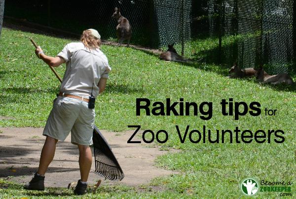 Raking tip for zoo volunteers
